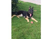 1 year old German Shepherd Pup