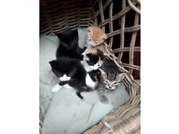 Friendy well marked kittens. Reared with children and other animals.
