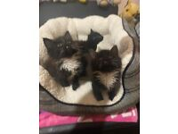 Fluffy kittens ready for new home