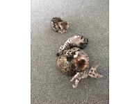 PEDIGREE BROWN AND SILVER BENGAL KITTENS. ***ONLY 2 LEFT***
