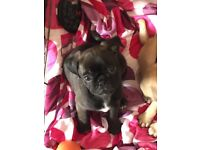 chocolate male pug puppy ready to go to his new home
