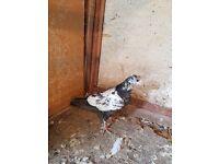 Pigeons for sale pakistani motti cross with pakistani rampuri