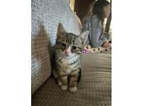 Female tabby kitten - litter trained
