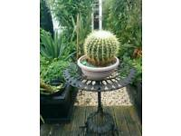 Large golden barrel cactus