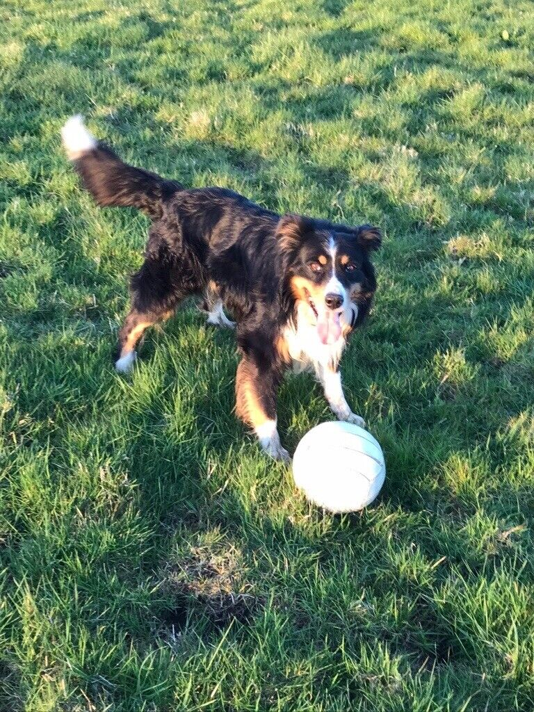 Collie Cross Dog In Need Of A Loving New Home Free To Good Hon In