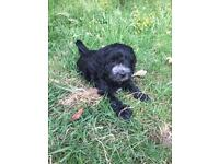 English F1 Cockerpoo Puppies For Sale