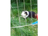 RESERVED TILL MID OCTOBER 2 male Guinea pigs 21 months old with equipment