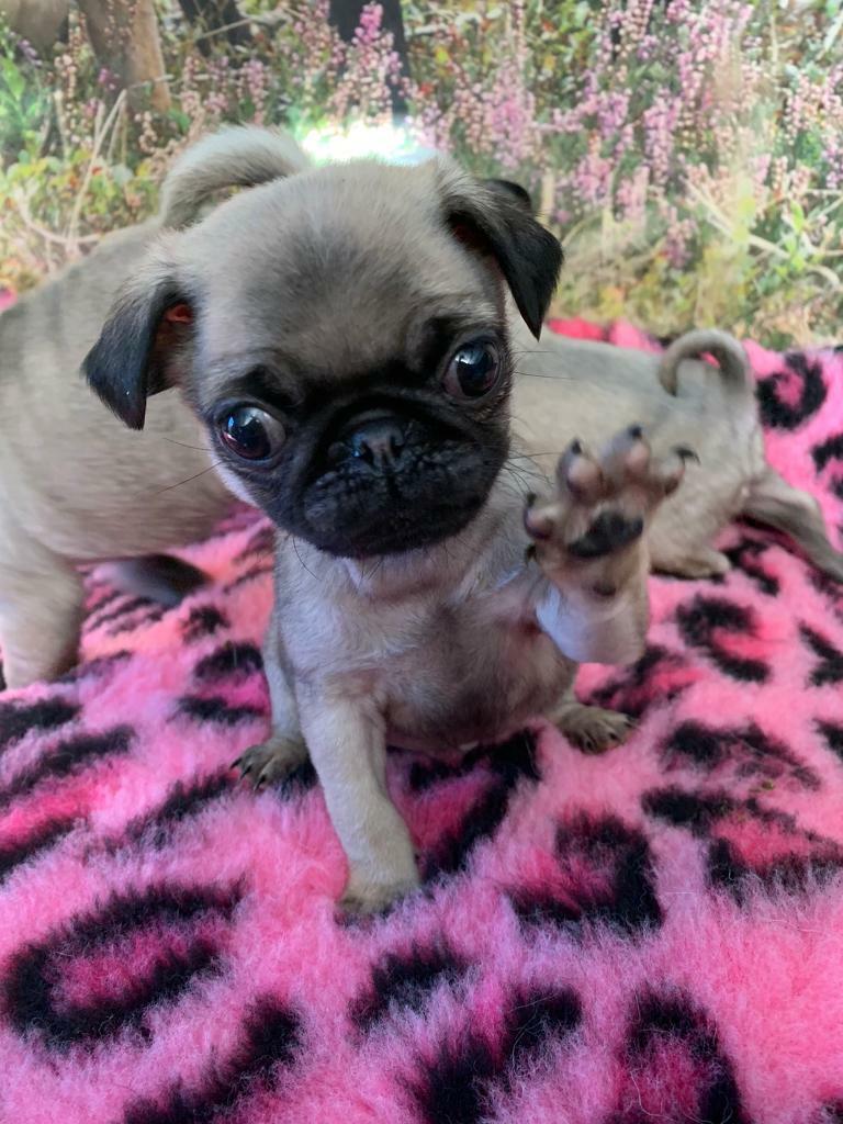Pedigree Pug Puppies For Sale In Oldmeldrum Aberdeenshire Gumtree