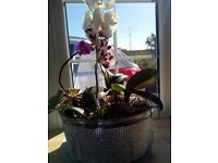 Orchids in Glass Vase with diamond effect. x 2
