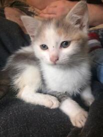 Tabby, white and ginger female kitten for sale