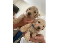 Double doodle puppies