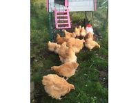 Beautiful back garden pets-Buff Orpington chickens