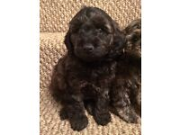Beautiful Cockapoo Puppies - Ready for new home now!