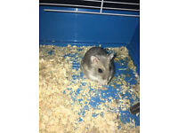 Dwarf Hamster + CAGE WITH EXTRAS