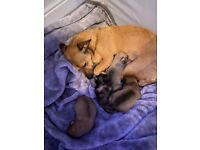 Jackawa /jack-chi /jackuahuahu puppies