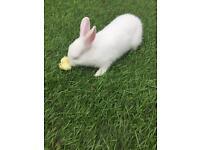 Netherlands dwarf bunny