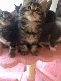 7 Kittens For Sale