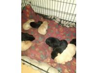 Labrador puppies for sale golden and black female and male