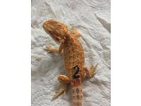 Bearded dragons Available