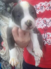 *Updated* Staffy Staffordshire Bull Terrier Puppies- Blues, White, Black, Blue Brindles