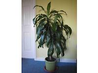 yuka plant