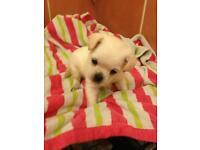 Puppies chocolate poodle x mini chihuahua