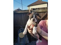 Boston terrier puppies :) updated ready for their forever homes