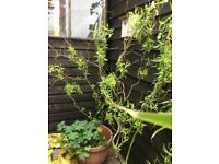 Garden weeping willow tree in large pot just coming into season it's a twisted variety.