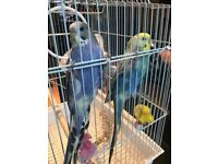 2 beautifull budgies for sale - purple + colourfull