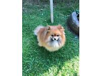 Female Pomeranian