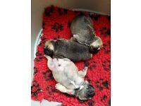 Frenchbulldog puppys