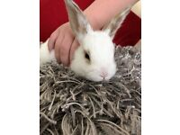 Gorgeous super tame baby mini lop rabbit female, with brand new cage for extra