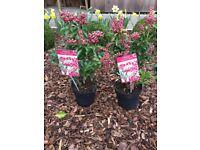 Pieris japonica plants EXCELLENT QUALITY PLANTS