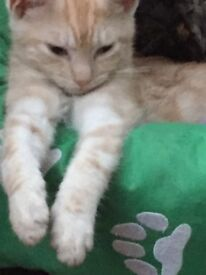 Very pale marbled ginger bengal striation creamy male kitten