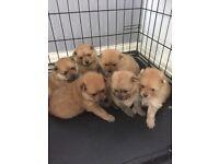 Pomeranian puppy's 2 boys left