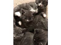 Domestic shorthair kittens ready to go now