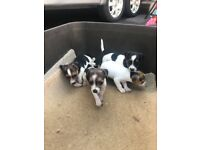 Jackrusell x beagle puppies for sale