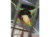 Cage & rats for sale
