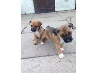 2 Patterdale cross staffybull puppies bitches for sale