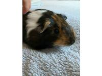 Two female guinea pigs and cage and accessories