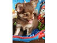 Stunning tiny long coat chocolate chihuahua pups