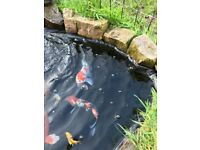 Selection of Koi Carp for sale 4-18''