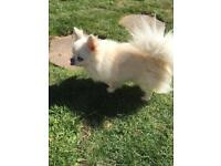 Kc reg pedigree longhaired chihuahua (proven)