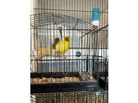 Fife fancy canary's