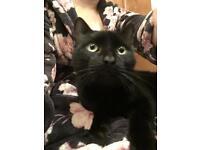 Black male cat