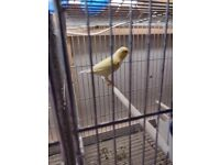 Young aand breeding canaries for sale