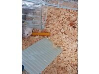 2 Robrovski Dwarf Hamsters (Babies) with full cage and accesories.