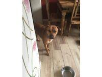 Staffi saluki cross dog for sale