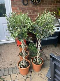 Double twisted olive trees