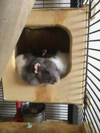 4 Rats + Cage and Accessories